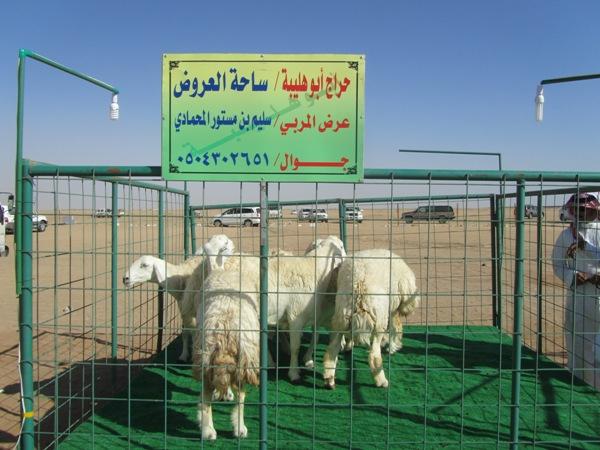 ملتقى هليبه الاول لفواخر الاغنام oouud-11d056328d.jpg